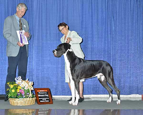 Remy Great Dane - Specialty Reserve Winners Dog