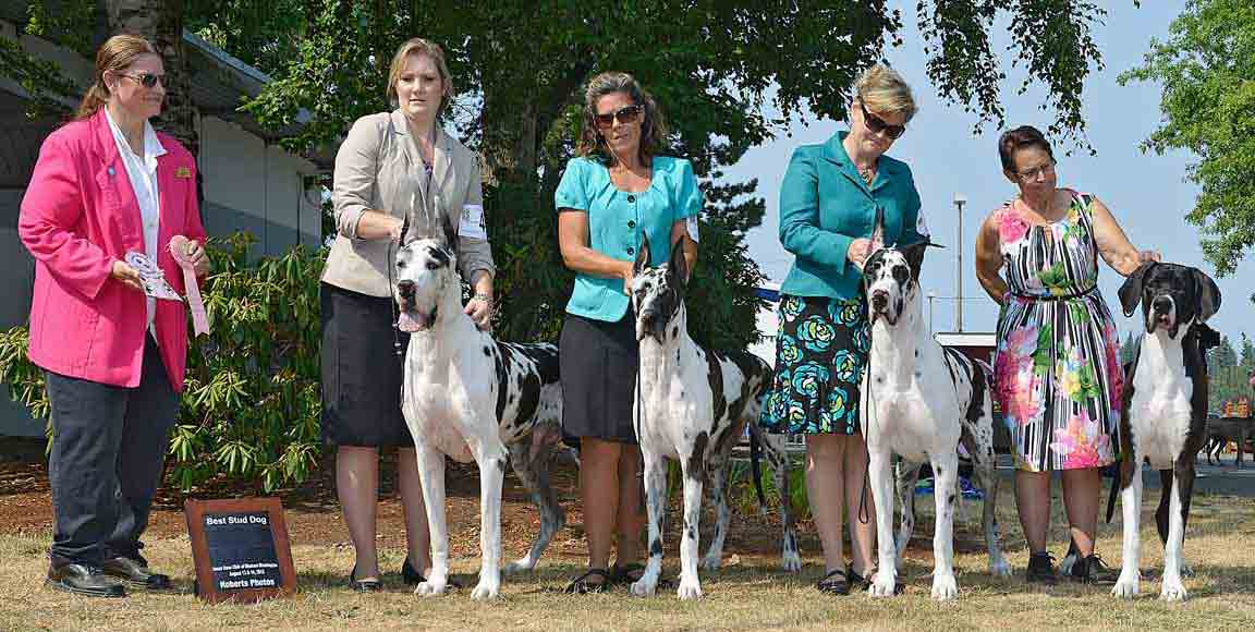 Harlequin and Mantle Great Danes